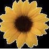 Sunflower - Biljke -