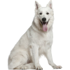 Swiss white sheperd dog - Tiere -