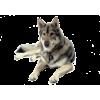 TAMASKAN DOG - Animals -