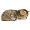 Tabby brown cat sleeping - Animals -