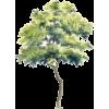 Tall tree - 自然 -