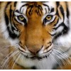 Tiger - Uncategorized -