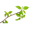 Tree branch - Plants -