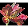 Tulip - Plantas -