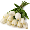 Tulips White - Plants -