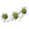 kamilica - Plants -
