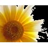 suncokret - Illustrations -