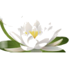 Water Lily - Piante -