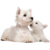 West Highland White Terrier (Westie) - Animals -