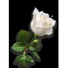White rose - Plantas -