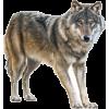 Wolf - Animals -