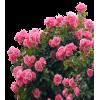 Розы - 相册 -