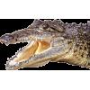 alligator - Animales -
