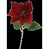 a poinsettia burgundy - Plants -