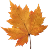 autumn maple leaf - Priroda -