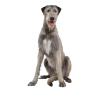 Big Dog - Animals -