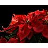 Xmas Plant - Plants -