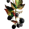 blackberries - Uncategorized -