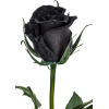 black rose - Uncategorized -