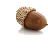 Acorn - Food -
