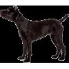 cane corso dog black - Animals -