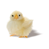 chichen - Životinje -