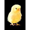 Chick Yellow - イラスト -