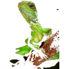 chinese water dragon - Animals -