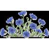 cornflower - Plants -