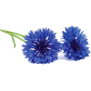 cornflower flowers - Plants -