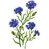 cornflowers - Rośliny -