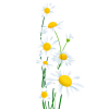 daisies - Plants -