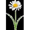 daisy - Biljke -