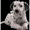 dalmatian pup - Animals -