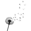 dandelion - Plants -