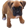 Boxer Puppy - Životinje -