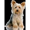 Yorkshire terrier - Animals -