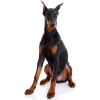 dog puppy doberman - Animals -