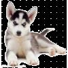 dog puppy husky - Animals -