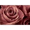 dusty rose - Plants -