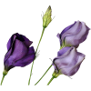 Flower Plants Purple - Biljke -
