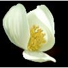 Flower White Plants - Rastline -