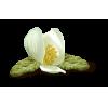 Flower White Plants - 植物 -