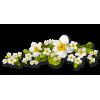 Flower White - Plants -