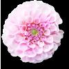 Flower Plants Pink - Plantas -