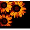 Flower Sunflower - Piante -