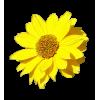Flower Sunflower - Plantas -