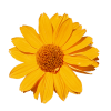 Flower Sunflower - 植物 -