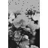 flower black & white photo - Uncategorized -