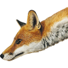 fox - Animali -
